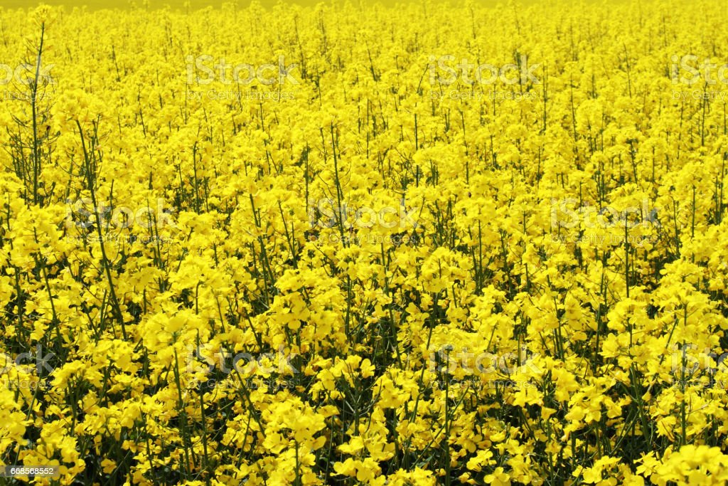 flowers of oil in rapeseed field with blue sky stock photo
