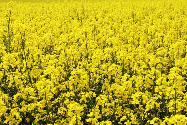 blumen in rapeseed oil field mit blauer himmel - rübsen stock-fotos und bilder