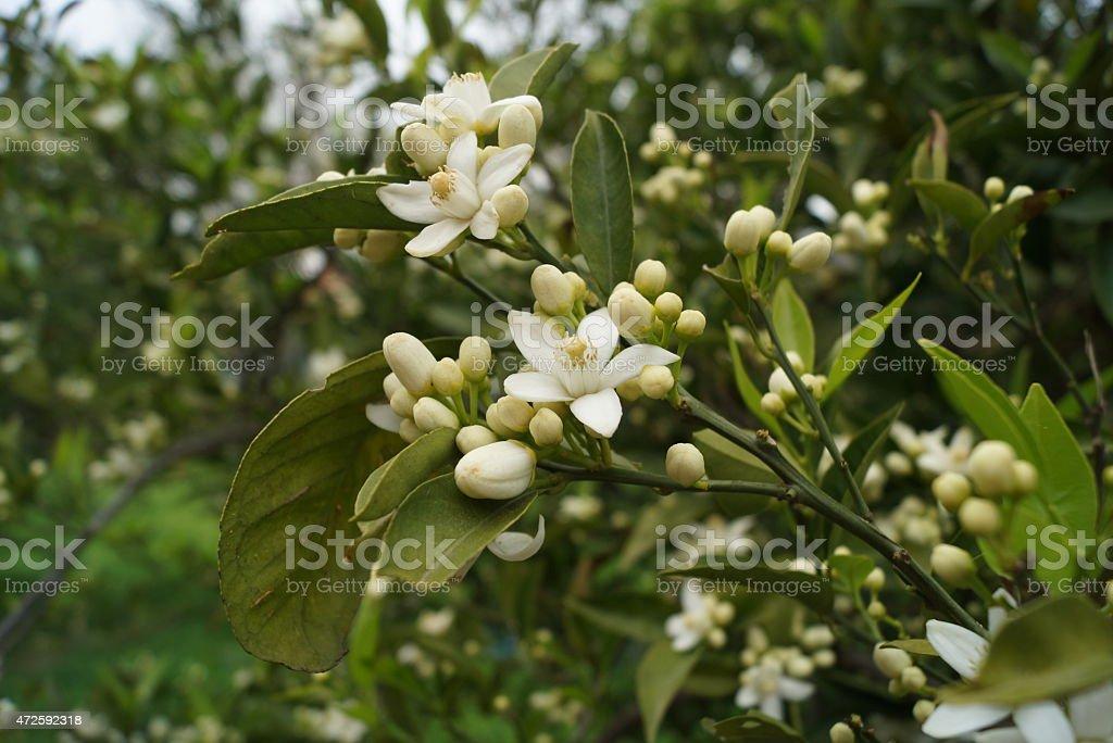 flowers of orange tree stock photo