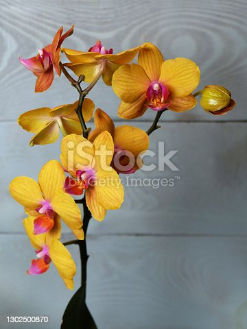 Flowers of orange-yellow phalaenopsis cultivar Piacenza, on a blue background, macro photo, selective focus, vertical orientation with a place for an inscription