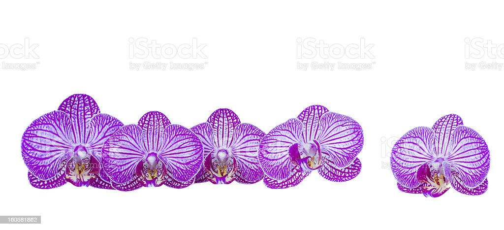 flowers of orchid border royalty-free stock photo
