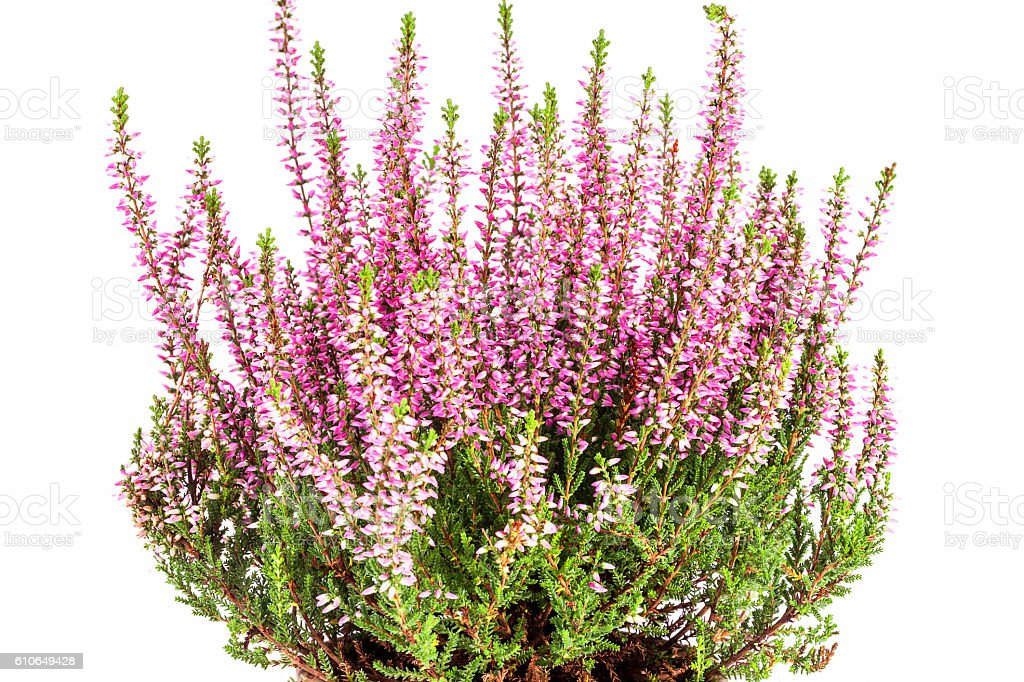 Flowers  of pink Calluna vulgaris in pot on white background stock photo