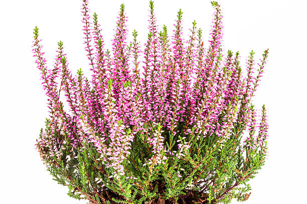 Flowers  of pink Calluna vulgaris in pot on white background Flowers  of pink Calluna vulgaris in pot on white background. heather stock pictures, royalty-free photos & images