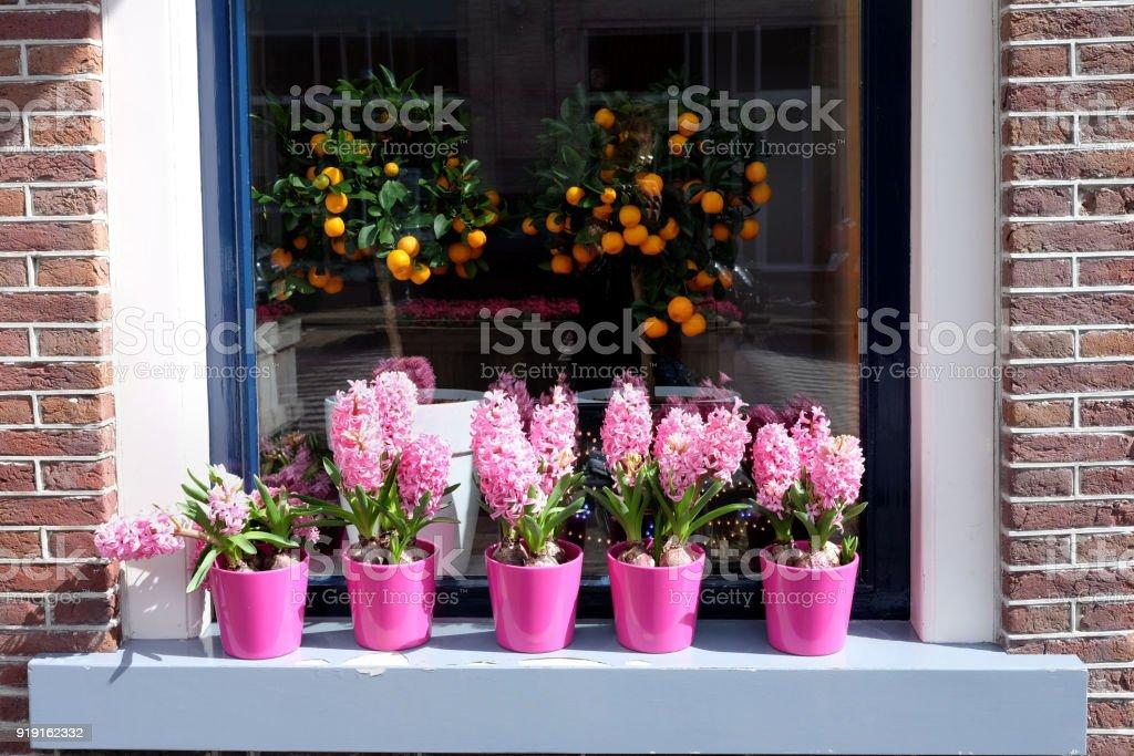 Blüten in rosa Hyazinthe und orange Früchte in Töpfen auf der Fensterbank, Blick auf die Straße. – Foto