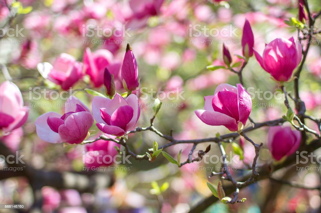 flowers of pink magnolia stock photo