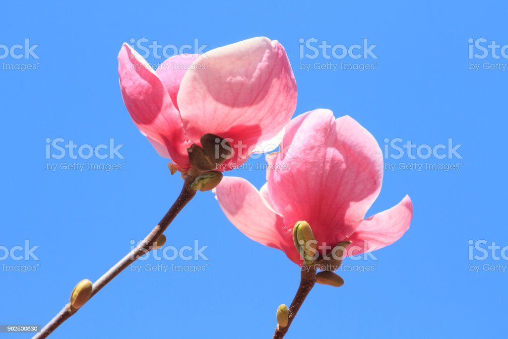 Flowers of pink Magnolia - Royalty-free Beauty Stock Photo