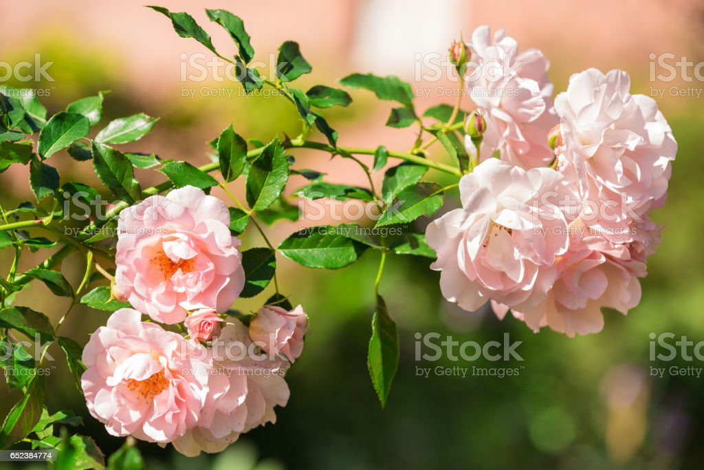 Flowers of pink rose growing in nature stock photo