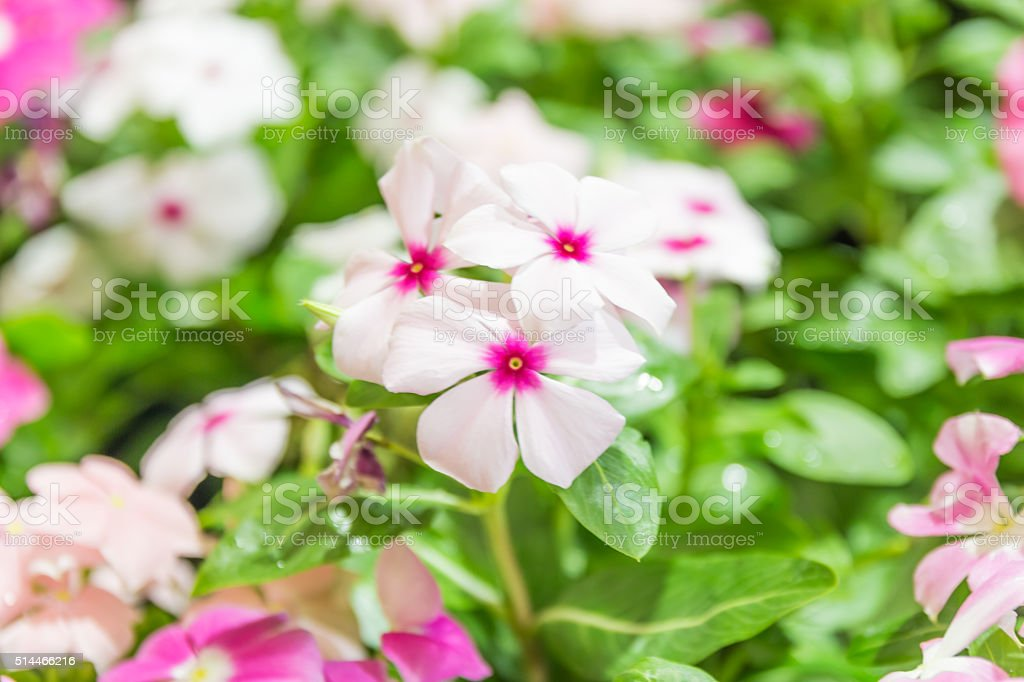flowers of primula auricula stock photo
