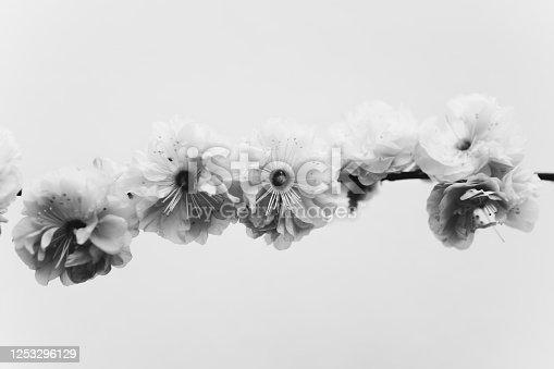 black and white photo of prunus triloba flower