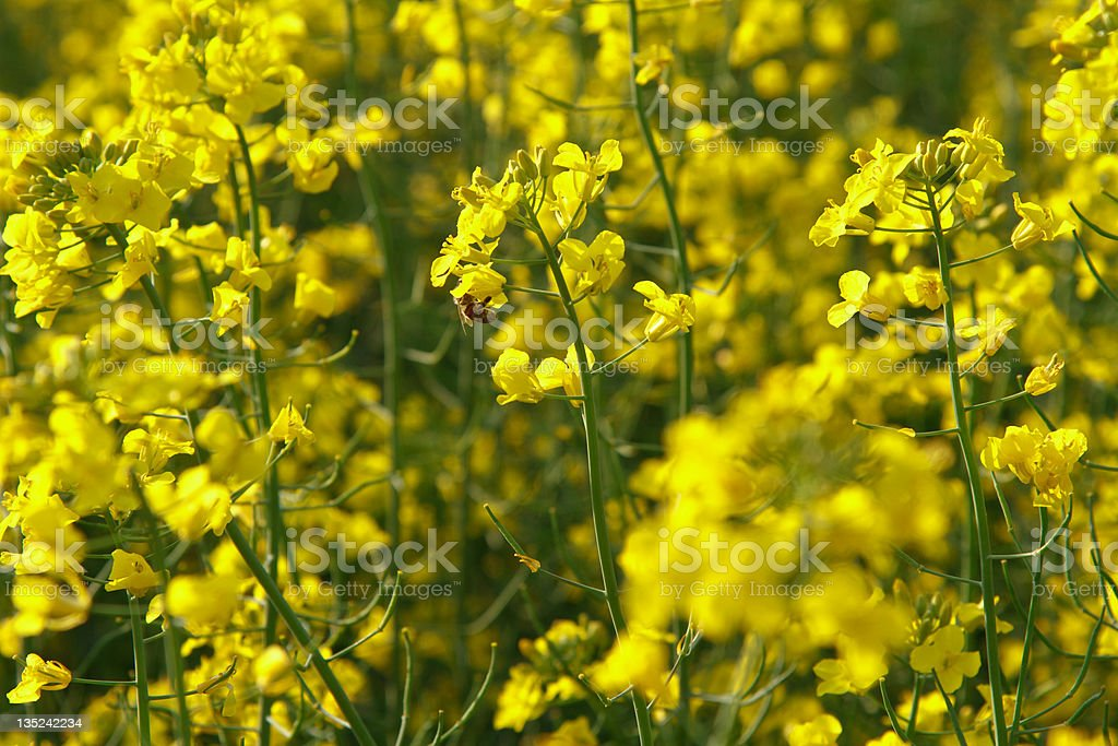 flowers of rape, close-up royalty-free stock photo