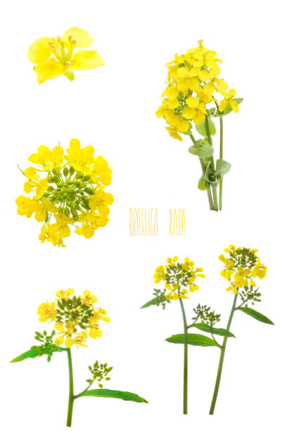 flowers of rapeseed on a white background flowers of rapeseed isolated on a white background oilseed rape stock pictures, royalty-free photos & images