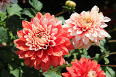 Flowers of red dahlia