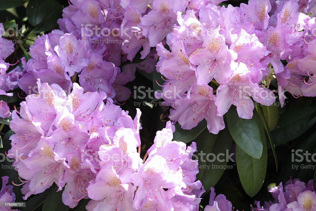flowers of Rhododendron royalty-free stock photo