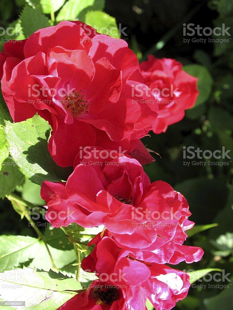 Flowers of rosehip stock photo