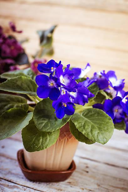 Flowers of Saintpaulia African Violet houseplant stock photo