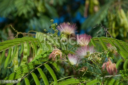 Flowers of Silk Tree / Albizia julibrissin