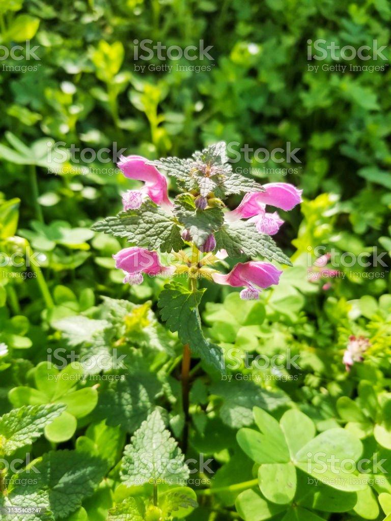 Flores de manchado muerto-ortiga, zapatitos o dragón púrpura - foto de stock
