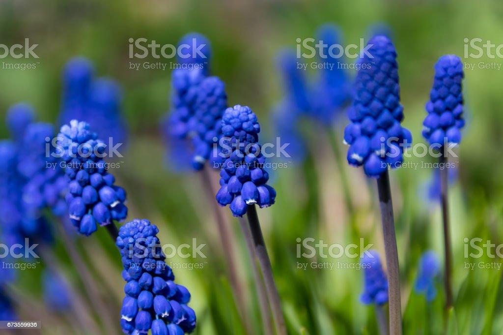 Flowers of spring. Muscari close-up, blue, purple flowers. stock photo