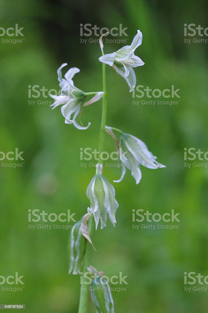 Flowers of Star-of-Bethlehem (Ornithógalum boucheánum) stock photo