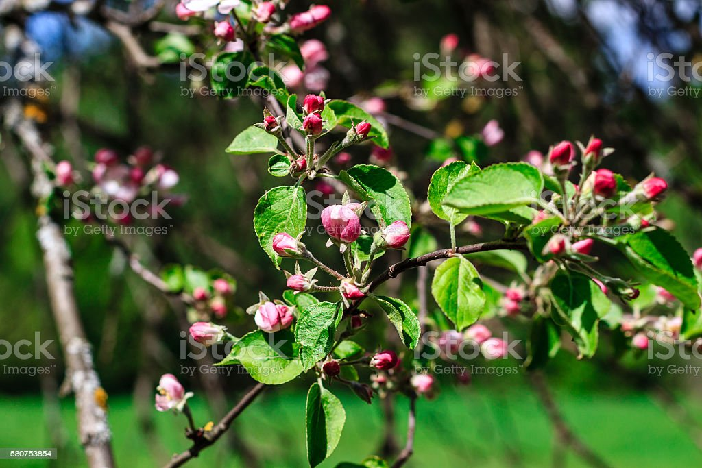 Flowers of the apple blossoms at spring season stock photo more flowers of the apple blossoms at spring season royalty free stock photo mightylinksfo