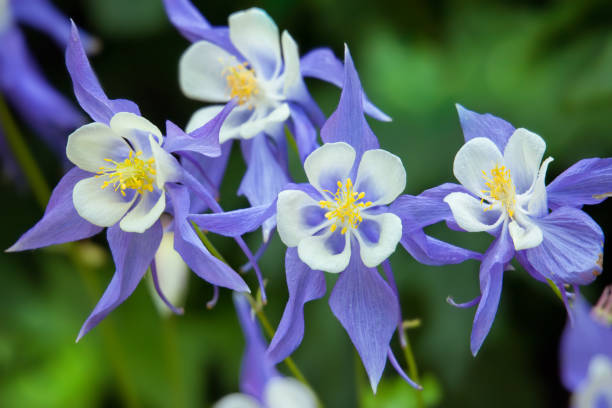 Flowers of the aquilegia (granny bonnet) stock photo