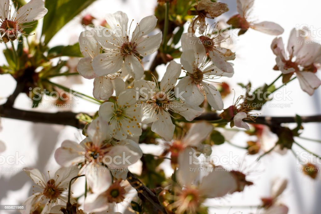 Flowers of the cherry blossoms on a spring day closeup royalty-free stock photo