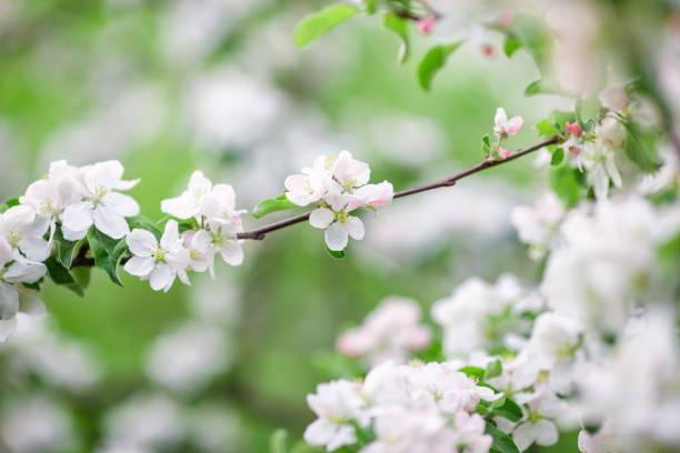 fleurs de la cerise fleurit sur une journée de printemps - titre mondial photos et images de collection
