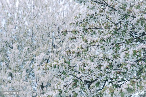 istock Flowers of the cherry blossoms on a spring day 959292914