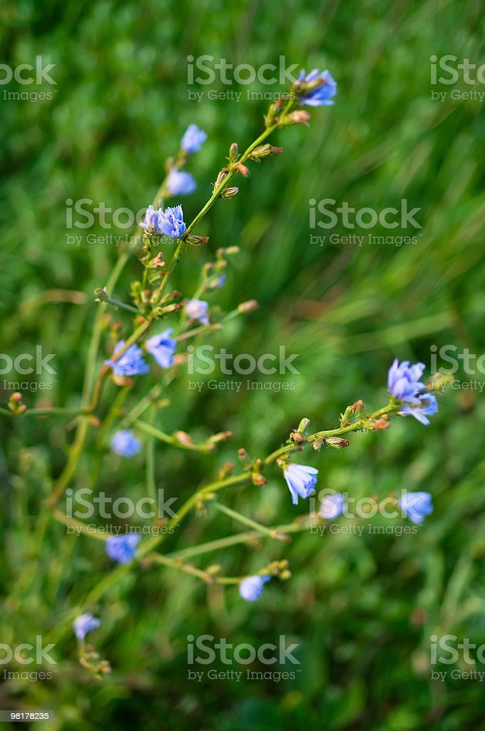 flowers of the chicory royalty-free stock photo
