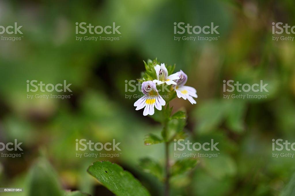 Flowers of the Eyebright Euphrasia rostkoviana stock photo