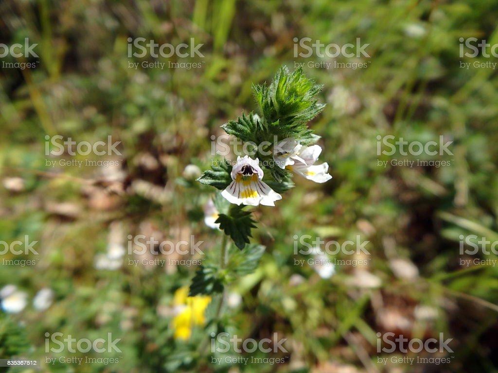Flowers of the Eyebright stock photo