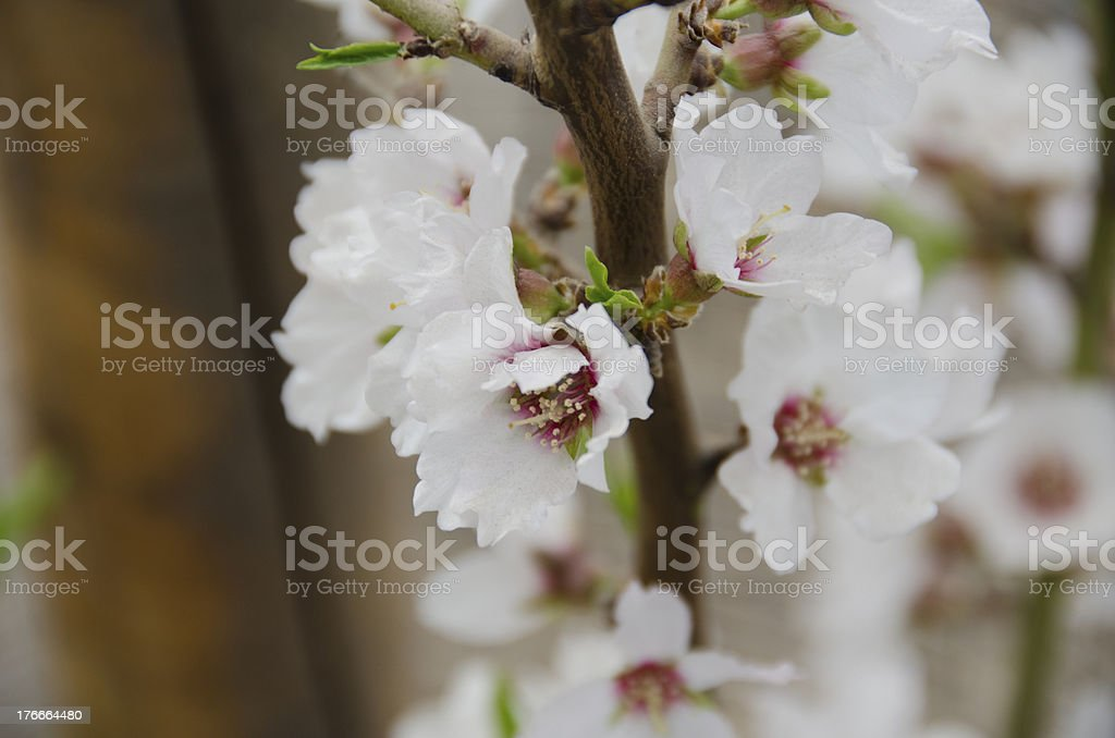 Flowers of the Fuji Cherry, Prunus incisa royalty-free stock photo