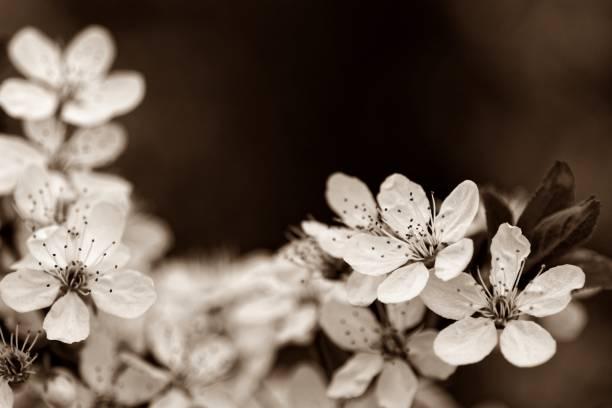 blüten der marille in einer sepiaaufnahme - detailliert stock-fotos und bilder