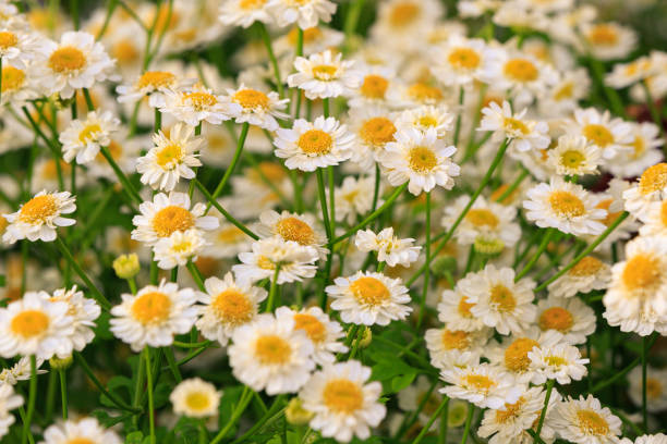 Flowers of the Pharmaceutical chamomile close-up lit by the setting sun stock photo