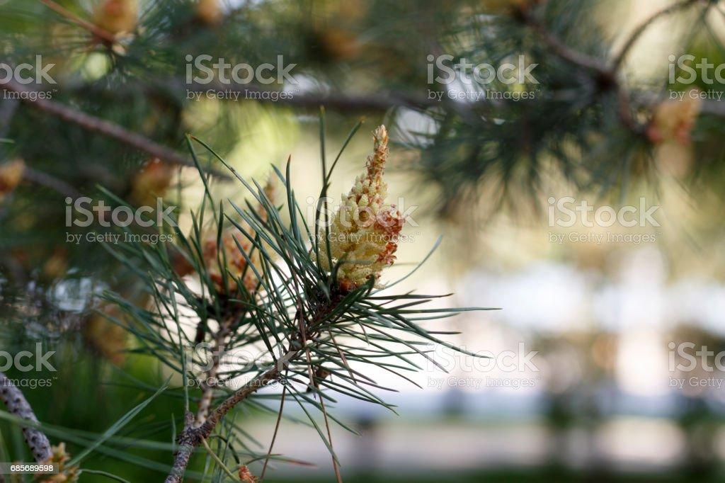 Blumen der Kiefer Blüten auf einem Frühling Tag closeup Lizenzfreies stock-foto