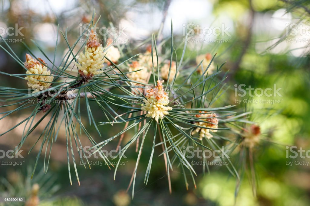 Flowers of the pine blossoms on a spring day closeup foto de stock royalty-free