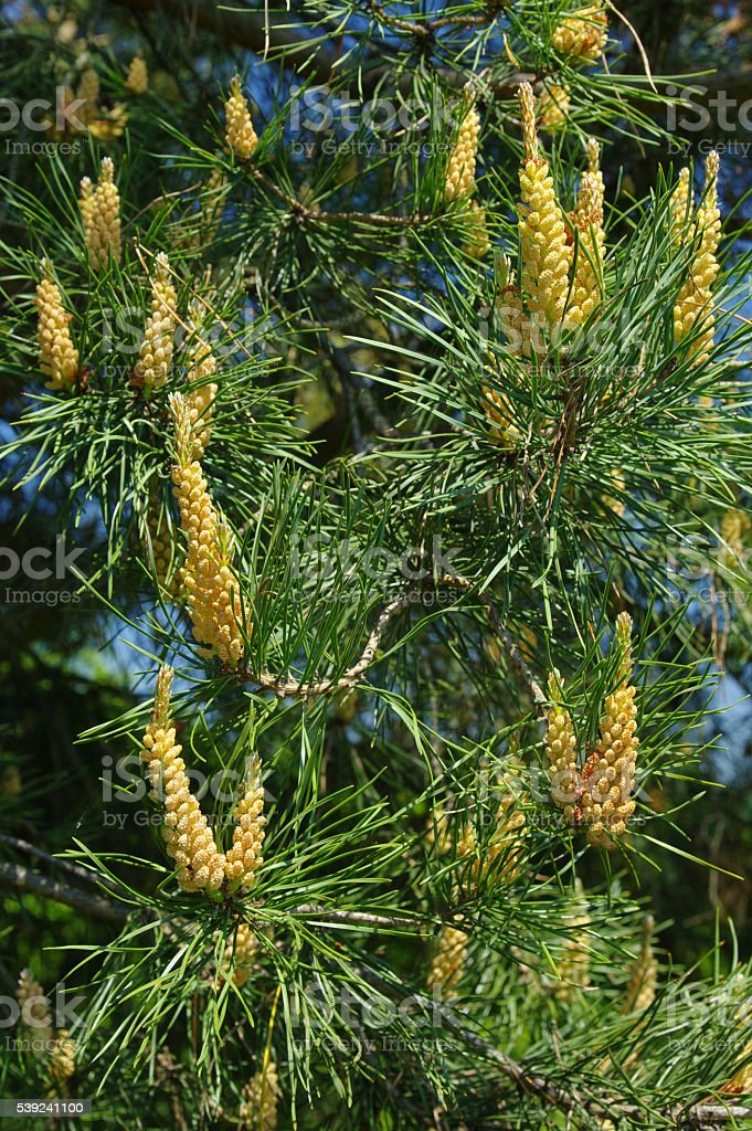 Flowers of the pine royalty-free stock photo
