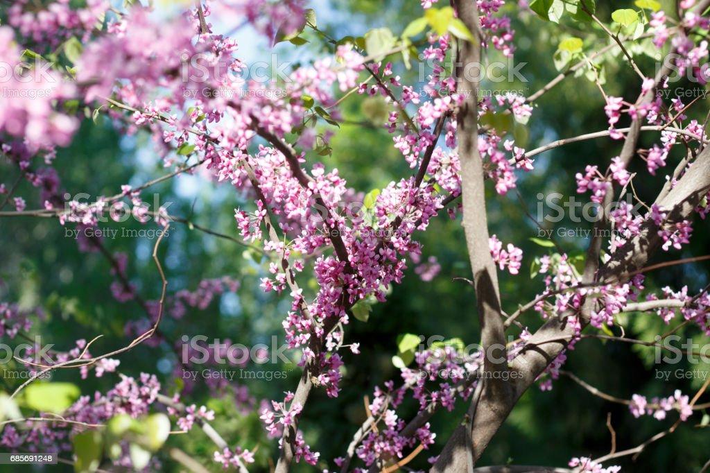 봄 날 근접 촬영에 사쿠라 꽃의 꽃 royalty-free 스톡 사진