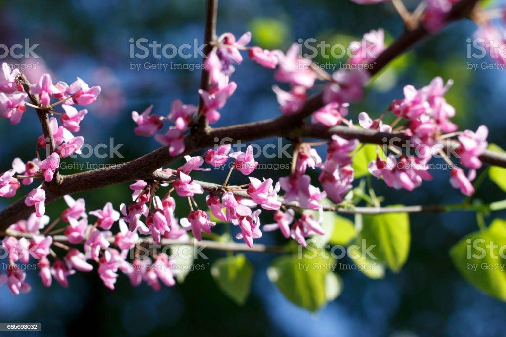 春天的櫻花盛開的花朵 免版稅 stock photo