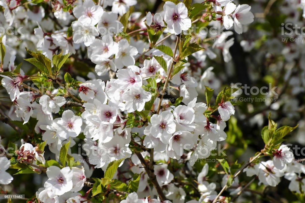 Flowers of the Winter Cherry (Prunus subhirtella) in early spring stock photo