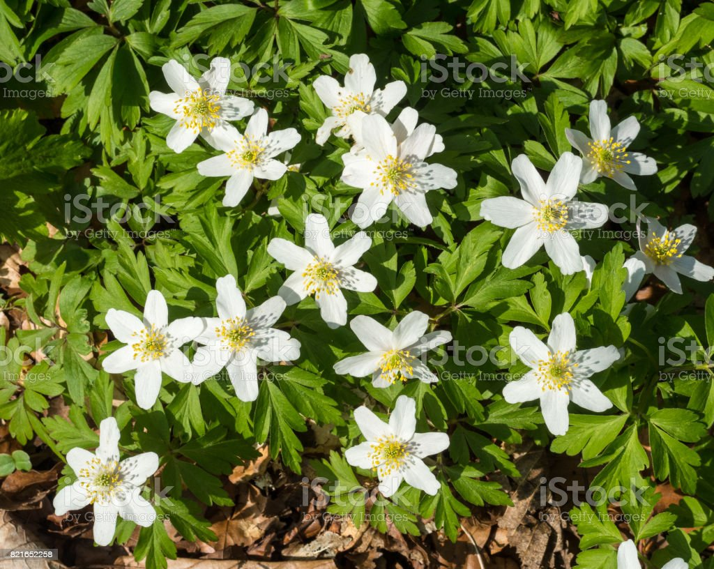 Flowers of the wood anemone stock photo
