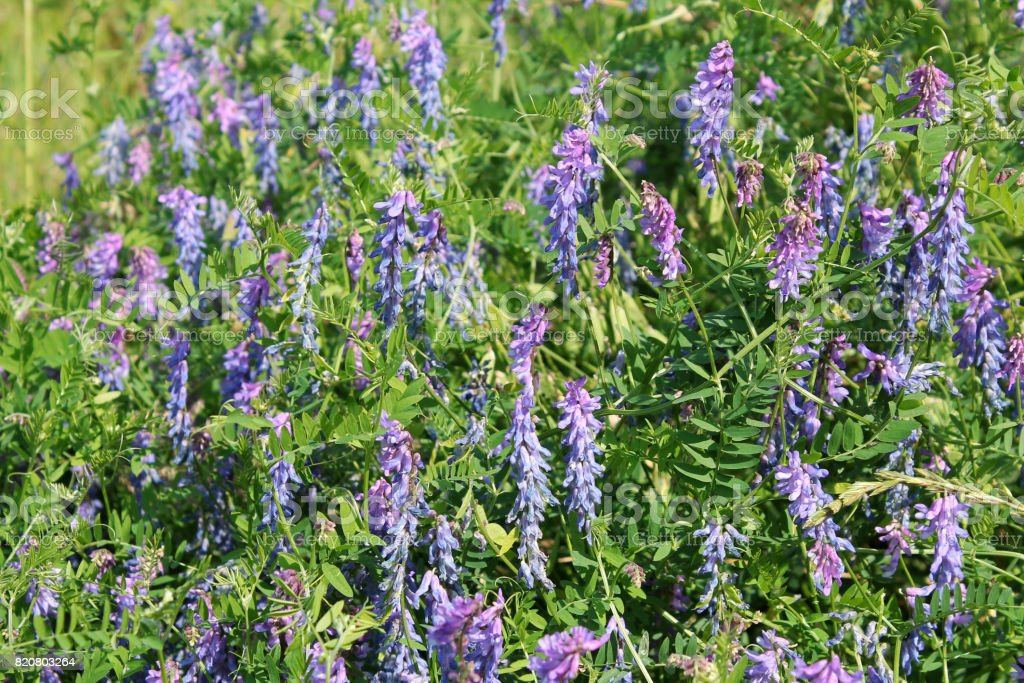 Flowers of tufted vetch (Vicia cracca). Green meadow with small blue flowers stock photo