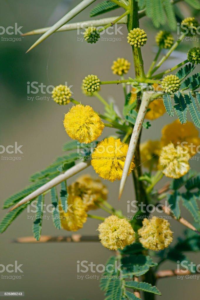 Flowers Of Vachellia Nilotica Acacia Nilotica Babhul Tree Ind Stock Photo Download Image Now Istock