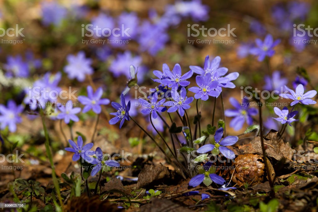 Flowers of violets in the spring forest stock photo