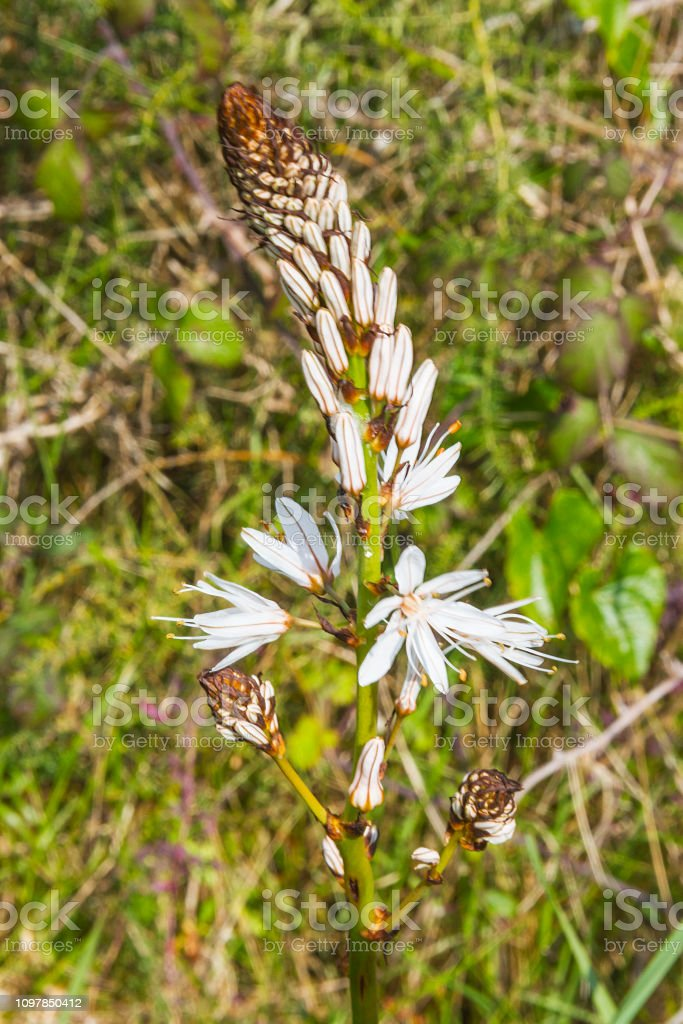 Flores de Asfódelo blanco - foto de stock