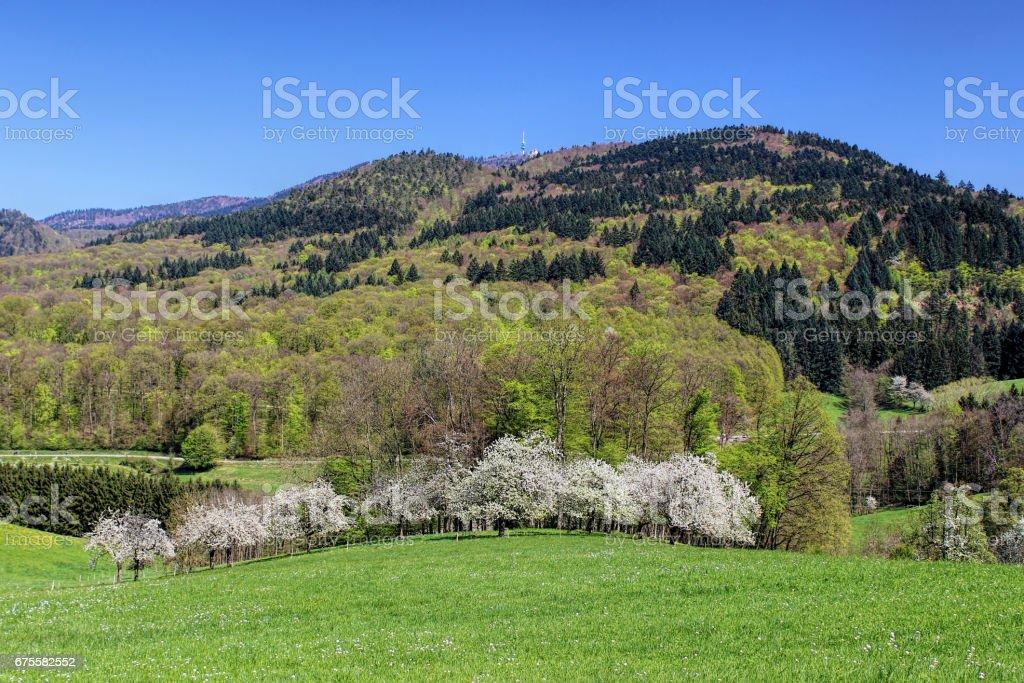 Fleurs de cerisiers blancs sur un jour de printemps, Allemagne photo libre de droits