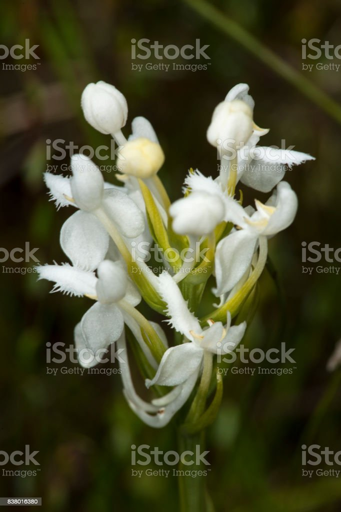 Flowers of white fringed bog orchid in New Hampshire. stock photo