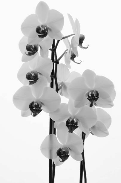 Flowers of white orchid on plain white background stock photo