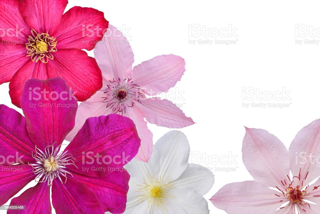 Flowers of white, pink, lilac and violet clematis on white background, isolated. - Royalty-free Beauty Stock Photo