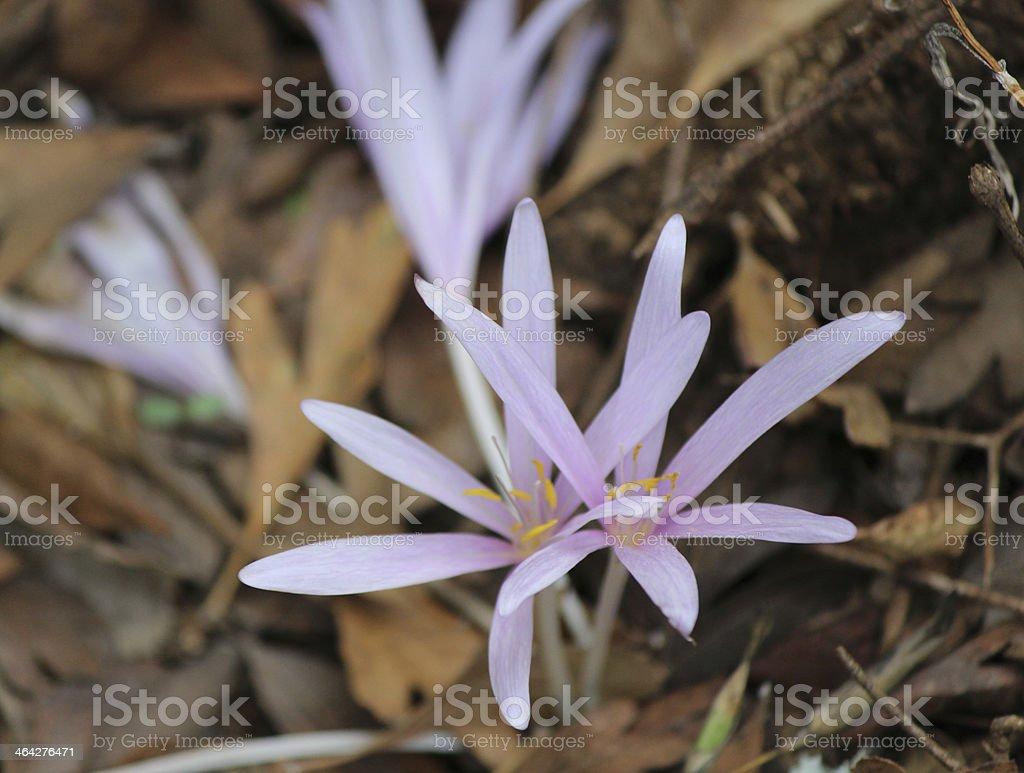 Flowers of Wild Crocus cancellatus stock photo